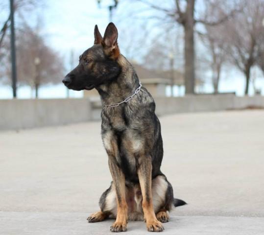 CGC (Canine Good Citizen) Class